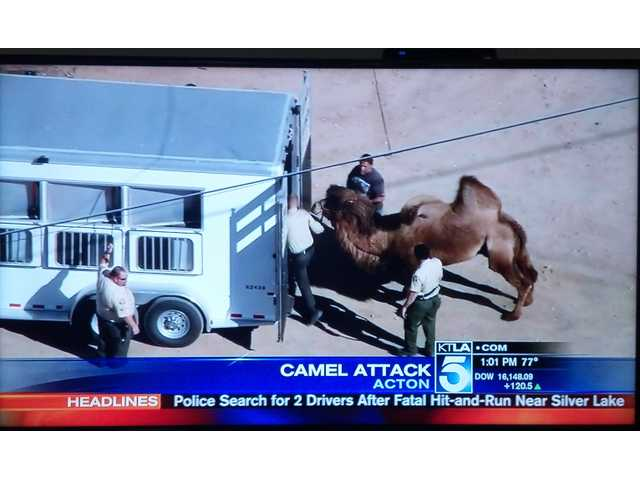 A screengrab of a KTLA Channel 5 newscast shows the wayward camel being loaded into a trailer. It was taken to a shelter in Lancaster.