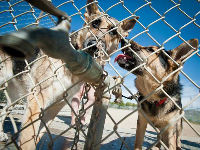 Two German shepherds take a drink at a faucet at the Canine Country dog park in CAnyon Country on a warm, sunny Monday. Signal photo by Charlie Kaijo.