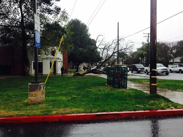 A tree was toppled Friday at Newhall Park. Signal photo by Alesia Humphries
