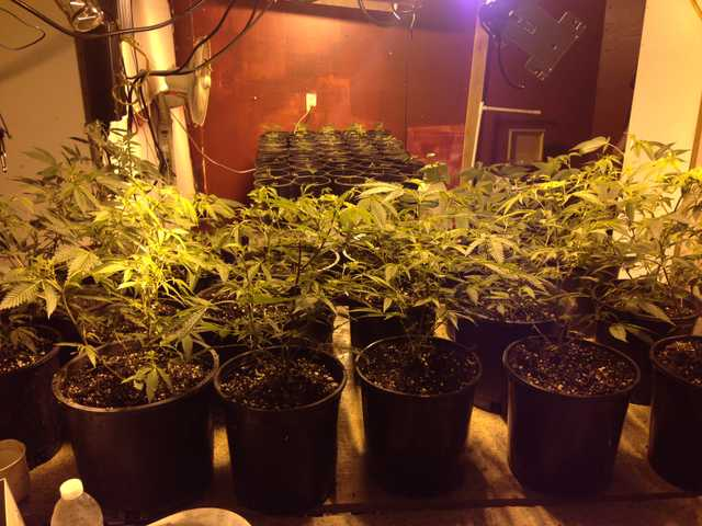 "Deputies conducting a probation/parole sweep discovered a large marijuana ""grow"" operation in a Canyon Country home. Photo courtesy of Santa Clarita Valley Sheriff's Station"
