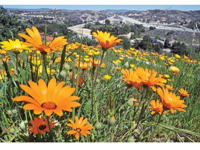Spring flowers adorn the hillside that overlooks the Highway 14 freeway from the Eternal Valley Memorial Park & Mortuary sign in Newhall on Wednesday. Signal photo by Dan Watson