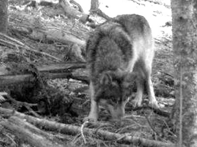 2011 photo from a hunter's trail camera appears to show OR-7, the young male wolf that has wandered more than 1,000 miles across Oregon and Northern California.