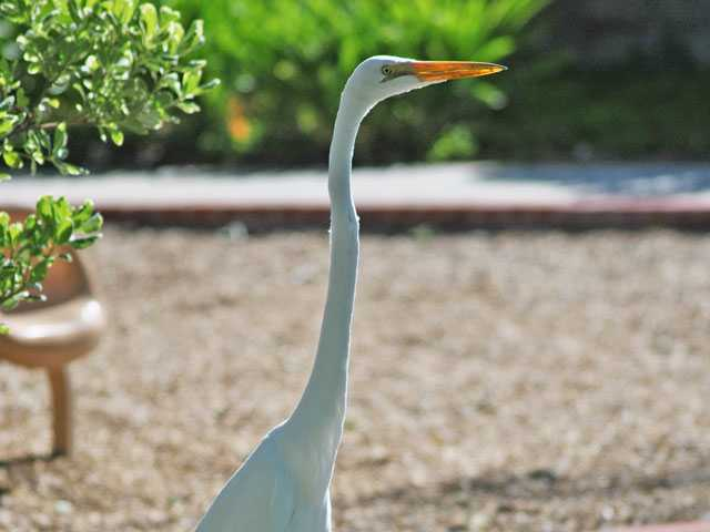 A beautiful bird spotted by surprised park goers at Ramada and Paseo, west of the South Fork Trail. Photographer Louie said he has never seen one of these birds in the SCV. Louie Gallardo/Courtesy Photo