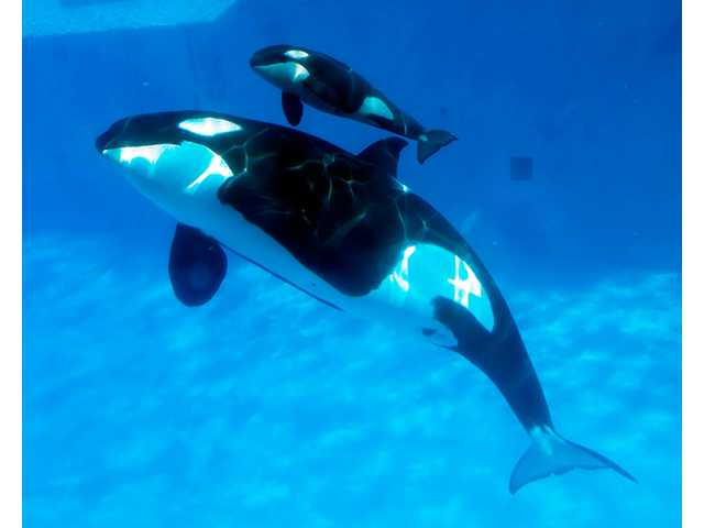 A mother killer whale Katsaka and her calf swim together at Shamu Stadium in San Diego.