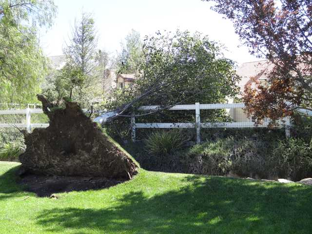 This photo sent to The Signal by Fred Seeley shows an uprooted tree in his yard on Crystal Springs Road in Sand Canyon.
