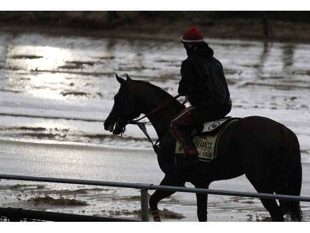 Preakness favorite California Chrome goes back to the stable in the rain after a workout on Friday.