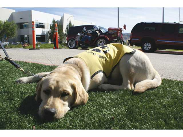 Guide dog Spirit relaxes on the grass in front of Old Road Harley-Davidson on Centre Pointe Parkway in Santa Clarita on Sunday as bikers come and go around him at the Guide Dogs of America Rides for Guides event.
