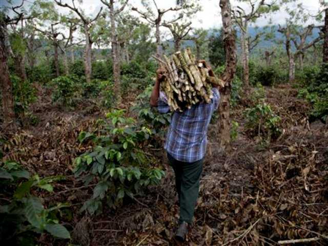 "A man carries wood as he cleans a coffee plantation in Ciudad Vieja, Guatemala. The region's thousands of coffee farmers are fighting a fungus called ""coffee rust"" but with no cure for the fungus, and climate conditions expected to encourage its spread, they are bracing for a long, hard battle to survive."