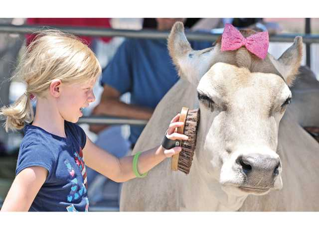 Kaya Carleton, 8,  brushes 10-year-old rescue cow, Buttercup, at the High Octane Charity Car Show to benefit The Gentle Barn held at the Saugus Speedway in Saugus on Saturday. Signal photo by Dan Watson.