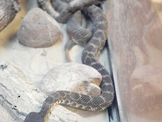 One of the three live Southern Pacific rattlesnakes on display at the Placerita Canyon Nature Center.