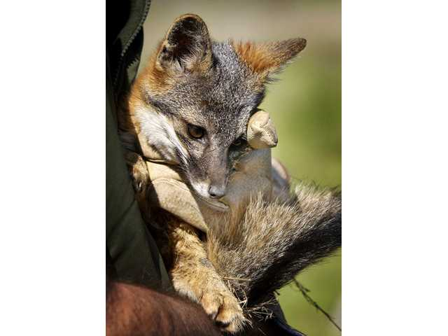 This March 4, 2004 file photo shows a Santa Cruz Island fox bred in captivity being held by a wildlife biologist for the National Park Service.