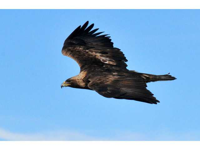 A golden eagle is shown in this undated, handout photo provided by the U.S. Fish and Wildlife Service.