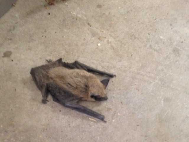 Newhall family discovers rabid bat