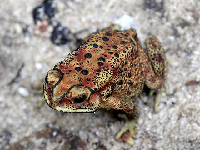 The California red-legged frog is the official state amphibian, thanks to a group of Imperial County school children.