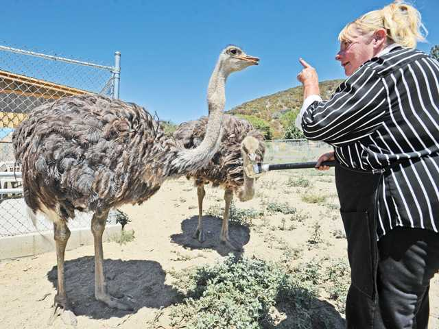 Jacquie Royce talks to one of two ostriches, Sarah and Cora, as she feeds them in their pen at Quail Run Ostrich Ranch in Lake Hughes on Tuesday. Signal photo by Dan Watson.