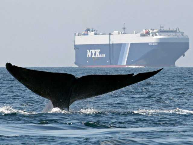 In this Aug. 14, 2008 file photo provided by John Calambokidis, a blue whale is shown near a cargo ship in the Santa Barbara Channel off the California coast.
