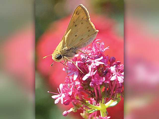 A Fiery Skipper butterfly lands on a  flower at College of the Canyons on Tuesday. Signal photo by Dan Watson.