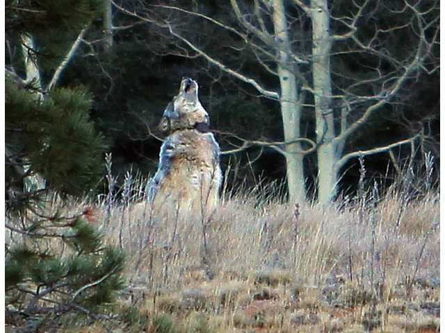 Wolf travels hundreds of miles to northern Arizona