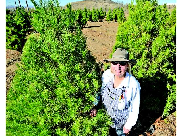 Last year to cut your own trees