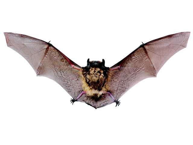 An atypical year for rabid bats
