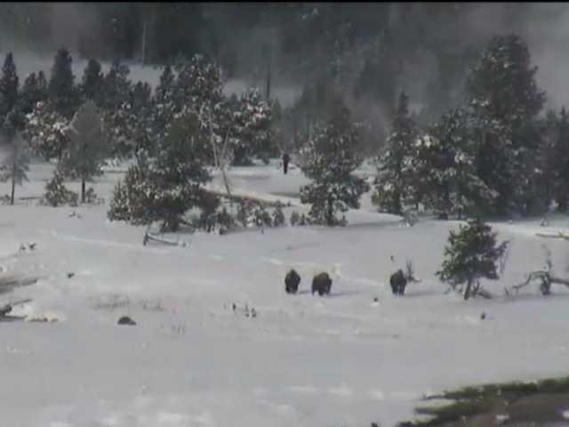 Bigfoot in Yellowstone?