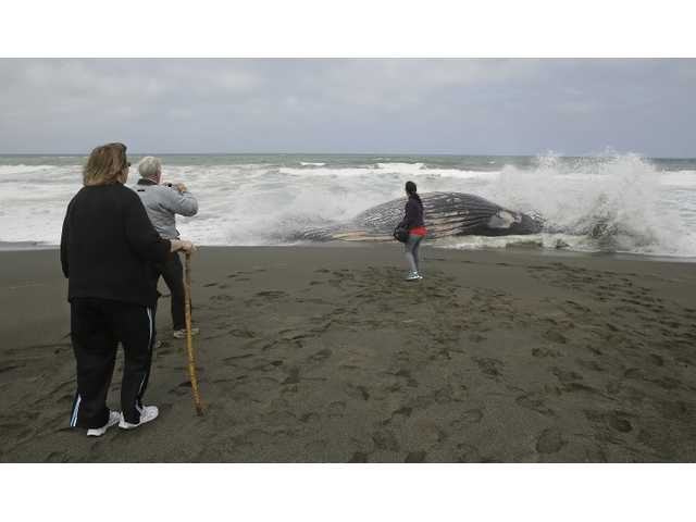 2 dead whales to be buried at beach after odor complaints