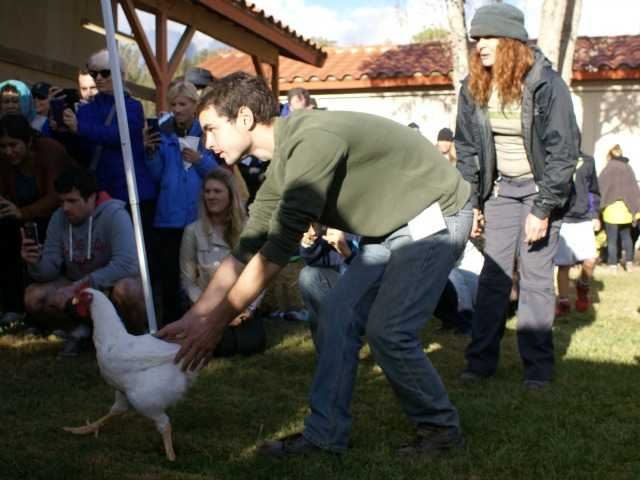 An event organizer points one of the turkeys in the direction of food at the Celebration For The Turkeys event in Acton Sunday. Photo by Jim Holt.