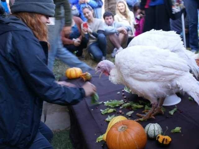 An event organizer shares a dining moment with one of three turkeys at Sunday's Celebration For The Turkeys in Acton. Photo by Jim Holt.