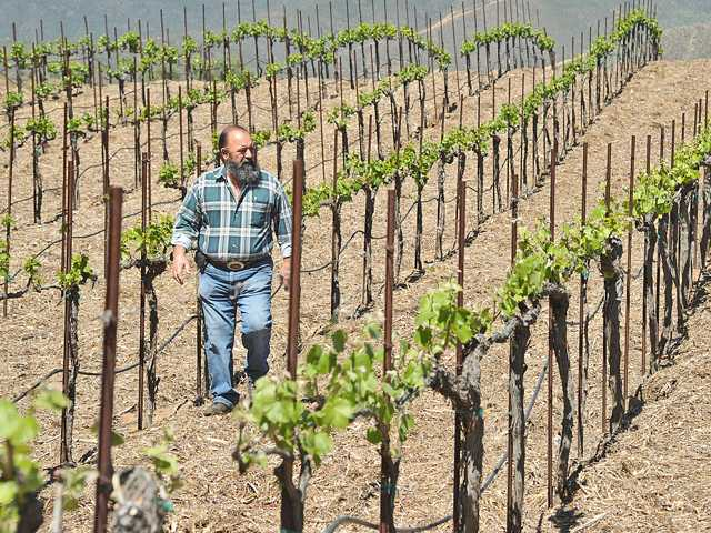Juan Alonso walks through his five-acre wine vineyard, the Alonso Family Vineyards, in Santa Clarita. Photo by Dan Watson