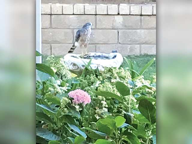 • A hawk cooling off while scouting our nearby finches. Photo by Diane Babko