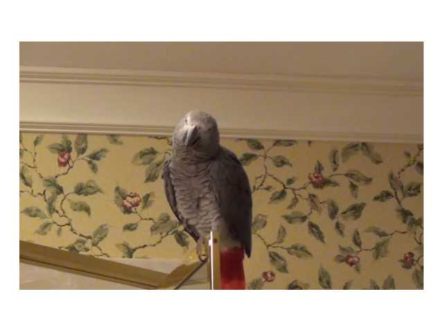 Have You Seen This? Parrot impersonates Matthew McConaughey