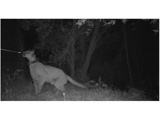 Video shows mountain lion leap over tall fence