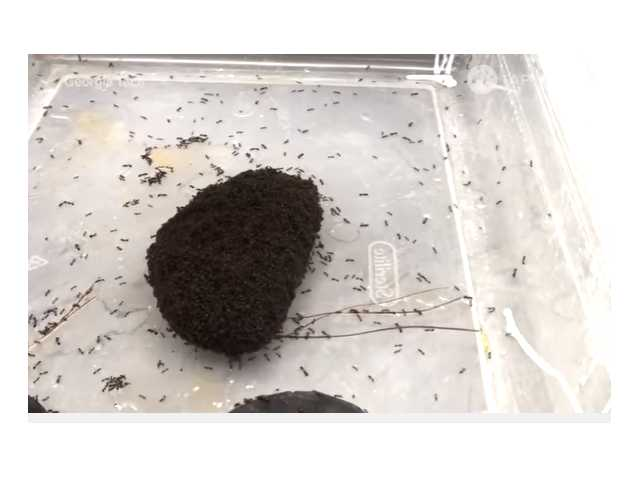 Have You Seen This? Giant morphing ball of ants