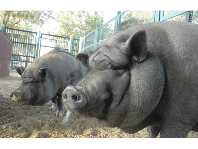 Pot bellied pigs Pixie and Leroy in the new barnyard at William S. Hart Park in Newhall. (