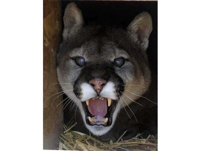 A mountain lion, like the one pictured above, was reportedly seen near several Santa Clarita Valley homes in the last two weeks.