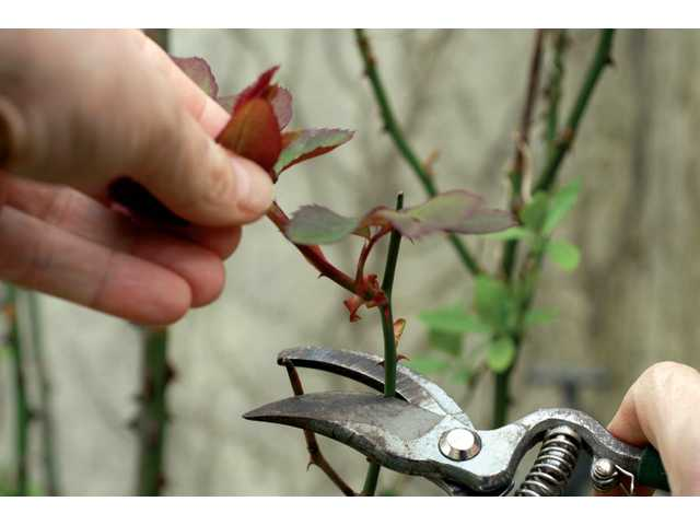 Make sure to make the correct pruning cut, 1/4 inch above a healthy bud, when pruning roses.
