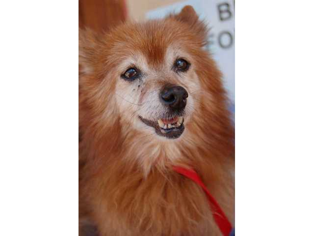 Dolly. Senior dogs needing adoption at the Brittany Foundation. Dogs can be viewed from 11 a.m. to 3 p.m. Sundays.