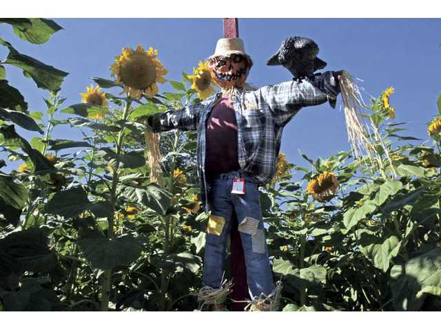 "Scarecrow Alley at Lombardi Ranch. Here, on a wide trail winding through towering sunflowers, you will find ""scarecrows"" entered in the yearly contest by local individuals, families, school and scouting groups."