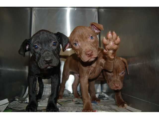 A trio of pit/lab mix puppies await adoption at the Indianapolis Humane Society, where Michelle Sathe and Loren were given a tour. The shelter has a very high adoption rate.
