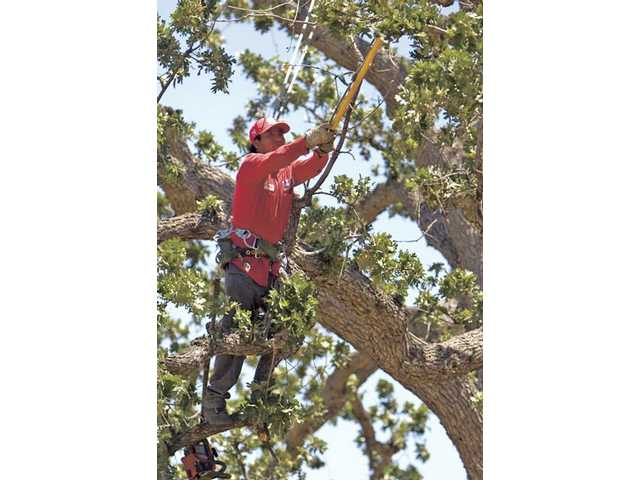 Roy Boak Tree Service company employee Demetrio De La Luz trims an oak tree at College of the Canyons on Monday morning.