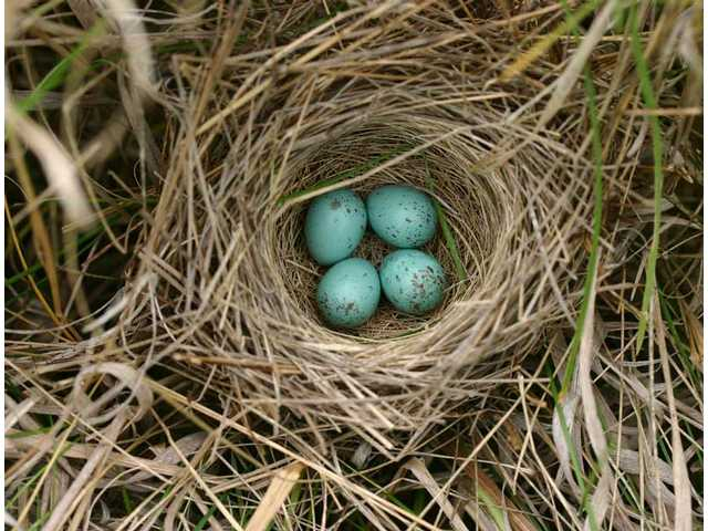 Phenology is the study of seasonal changes in life-cycle events such as when a species lays its eggs. Clay-colored sparrow nest.