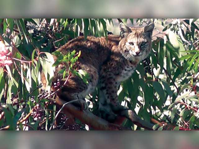 Bobcat spat in Valencia