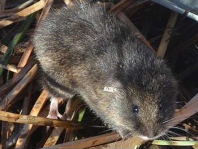 Scientists work to save endangered mammal