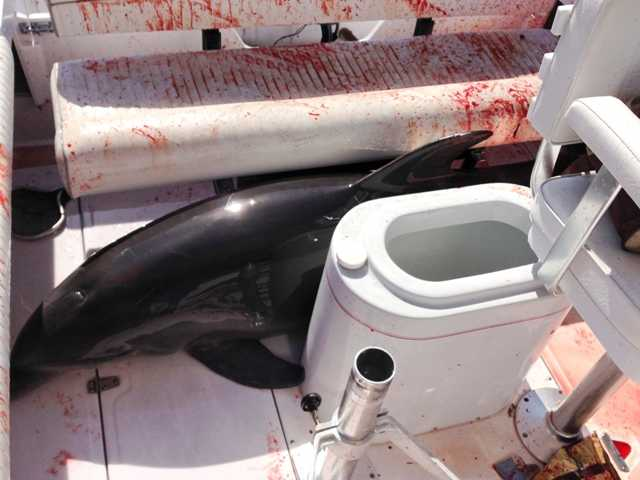 <p>The dolphin leaped onto Dirk Frickman's boat and crashed into his wife, Chrissie, breaking both her ankles. He called authorities and while he steered, he splashed water on the about 350-pound dolphin to keep it alive as it thrashed around and bled from some cuts. </p>