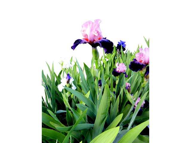 Spring Iris Show Saturday