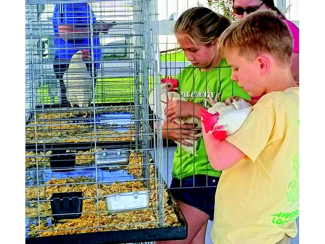 4-H'ers counting their chickens
