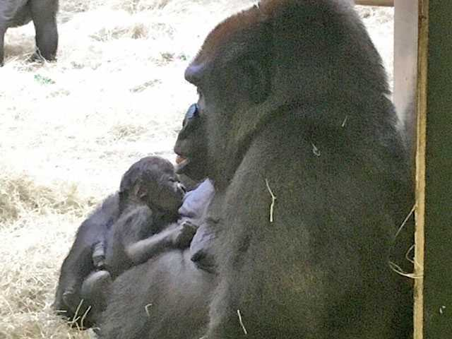 Zoo Knoxville announces birth of endangered gorilla