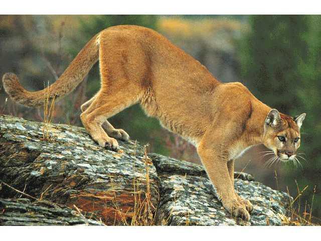 Residents tell of cougar attacks on livestock