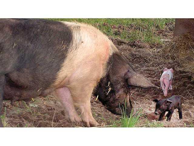 Pastured pork cooperative discussed