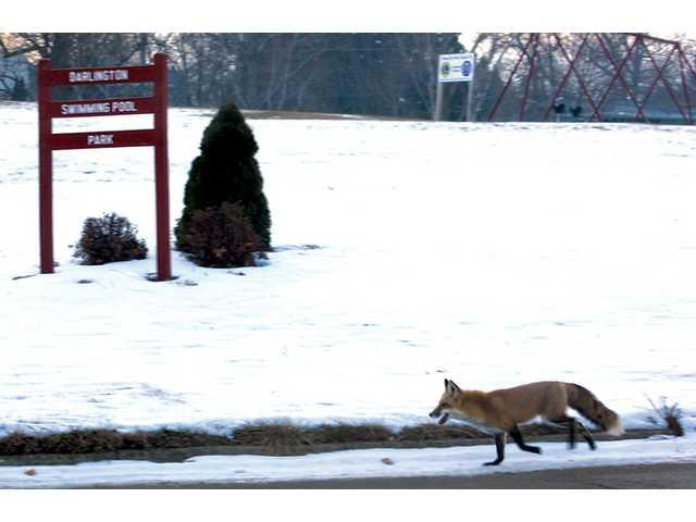 Fox photographed in Darlington